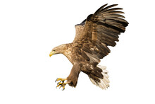 Majestic White-tailed Eagle, Haliaeetus Albicilla, Landing With Open Wings And Catching Prey With Talons Isolated On White Background. Large Bird Of Prey Flying Cut Out On White Background.