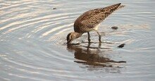 Hungry Eastern Curlew With Rainforest