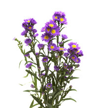 Small Purple Aster Flower Inflorescence  Isolated On White Background