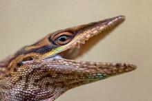 Closeup Shot Of A Brown Anole Lizard