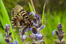 Farfalla Polissena (Zerynthia Cassandra),ritratto Su Fiore E Sfondo Prato