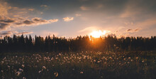 Beautiful Summer Landscape. Bright Sunset With Orange Sun Overlooking A Field With White Fluffy Wildflowers. Panorama Banner