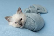 Cute Ragdoll Kitten Photoshoot