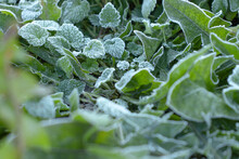 Frost On Green Leaves In Winter