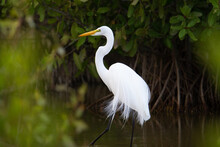 Great Egret (Ardea Alba) Great Egret Walking In A Swamp With Mangroves In The Background