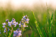 Natural Background Of Purple Wildflowers In The Grass