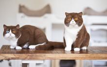 Süße Katzenbabys, Kitten, Britisch Kurzhaar Imposant Edel Und Selten.