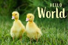 Hello World. Cute Fluffy Goslings On Green Grass