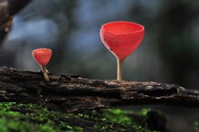 Macro Red Pink Burn Cup, Cookeina Sulcipes , Sarcoscyphaceae,mushroom On Green Moss Wood In The Rainy Season