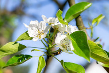 Macro Photo Of Blooming Pear Blossoms On A Nice Sunny Day