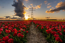 Red Tulip Field During Sunset