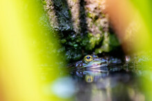 Big Green Frog In Garden Pond With Beautiful Reflection At The Water Surface Shows Frog Eyes In Garden Biotope In Macro View And Idyllic Habitat For Amphibians Mating In Spring Waiting For Insects
