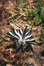Vertical Shot Of A Zebra Swallowtail Butterfly On The Ground In A Garden With Dark Plants Around