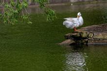 White Pekin Duck On A Riverbank
