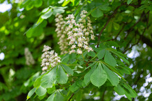 Aesculus Hippocastanum, The Horse Chestnut Is A Species Of Flowering Plant In The Family Sapindaceae. Blossoming Chestnut Tree In Spring. Aesculus Hippocastanum. Aesculus Hippocastanum Blossoming Tree