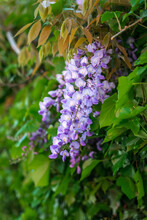 Flowers Of The Ornamental Plant Wisteria Sinensis (Chinese Wisteria).