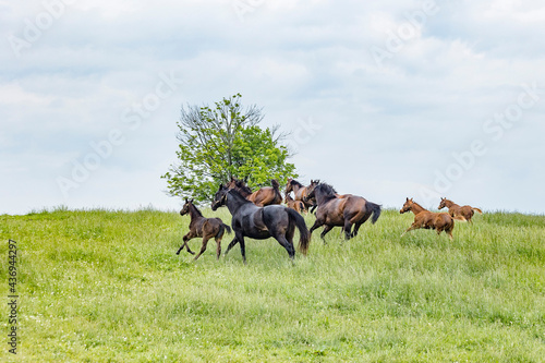 Mares and foals galloping across a green pasture. Fototapeta