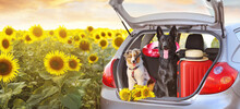 Australian And Black Shepherd Dogs Sitting In The Car Trunk With Baggage Against Sunflowers Field