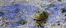 Frog Curiously Pops Its Head Up In The Pond To See Its Surroundings