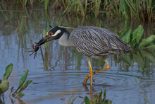 Yellow Crowned Night Heron Catching A Crab
