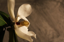 Fiori Profumati Di Magnolia Recisi In Vaso. Still Life Dalle Delicate Tonalità Bianco E Avorio