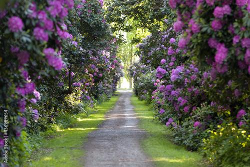 Foto Rhododendron Allee, Hagenburg, Niedersachsen