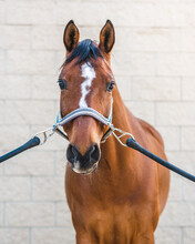 Adorable Horse With Bridle Standing In Barn On Sunny Day