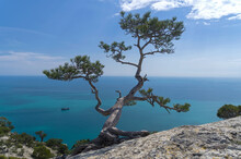 Relic Pine Tree Against The Background Of The Sea.