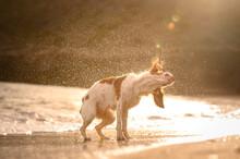 Adorable Purebred Dog Shaking Fur On Sandy Coast