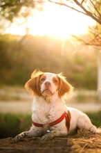 Brittany Spaniel In Collar Sitting In Park
