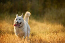 Funny Hairy Dog Running On Grassy Meadow