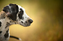 Curious Dalmatian Dog Standing In Grass