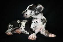 Cute Great Dane Puppy Sitting In Black Studio