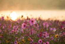 Pink Cosmos Flower Blooming In The Field, Vintage Tone