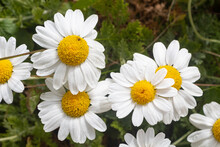 White Flowers Of Oxeye Daisy In A Garden During Spring