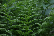 Green Fern Leaves In The Forest In Summer