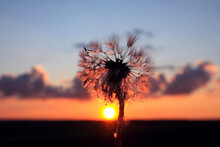 The Silhouette Of A Dandelion With Dew Drops On The Background Of The Setting Sun On A Spring Evening, Close-up