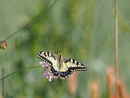 Canvas mariposa golondrina polinizando una flor color rosa, color marrón, azul, rojo y