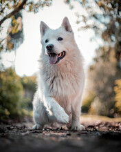 Adorable White Swiss Shepherd Dog Sitting On Grass In Nature