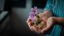 Crop Faceless Woman Holding Soil And Purple Flowers