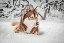 Cute Siberian Husky Lying On Snowy Ground During Snowfall