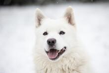 Adorable White Swiss Shepherd Dog Sitting On Snowy Ground