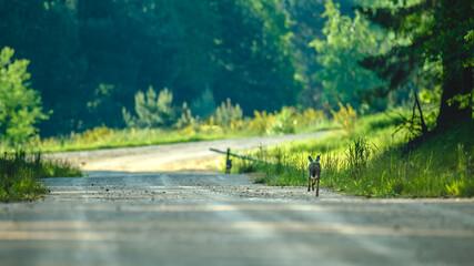 Uciekający leśną drogą młody zając