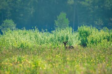Młody rogacz, sarna, wypatrujący zagrożenia na leśnej polanie