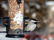 This Cute Little Carolina Chickadee Is Enjoying A Nugget From The Back Yard Feeder And Has A Seed In Its Mouth. This Bird With A Distinctive Spherical Body Shape Was Spotted In Missouri. Bokeh Effect.