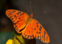 Really Close Looks At Gulf Fritillary Butterfly.