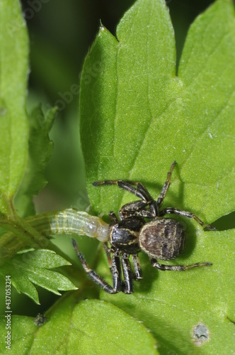 Fotografija araignée consommant une chenille