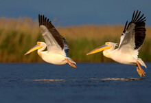 Single And Group Images Of The Great White Pelican (Pelecanus Onocrotalus) In Natural Habitat. Birds Are Shot In The Rays Of The Soft Evening Sun Close-up In Flight And At Rest