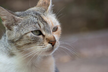 Tricolor Street Cat Looks Seriously To The Side. Portrait Of Multicolor Cat Outdoor. Blurred Background, Copy Space