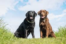 Portrait Of Labrador Retrieves